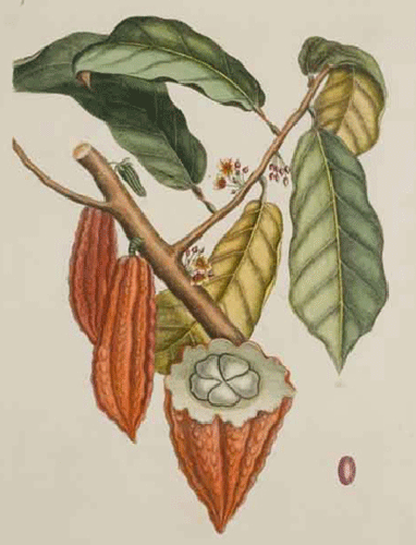 vintage engraving of Theobroma cacao